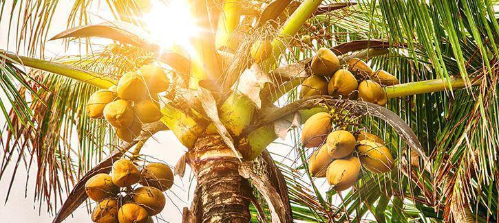 Kokos palmboom